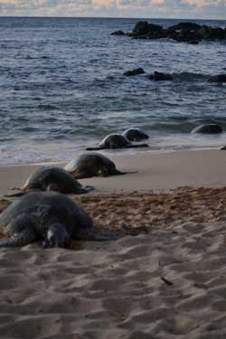 Turtles lined up, coming on to shore line at sunset, Maui, Hawaii.